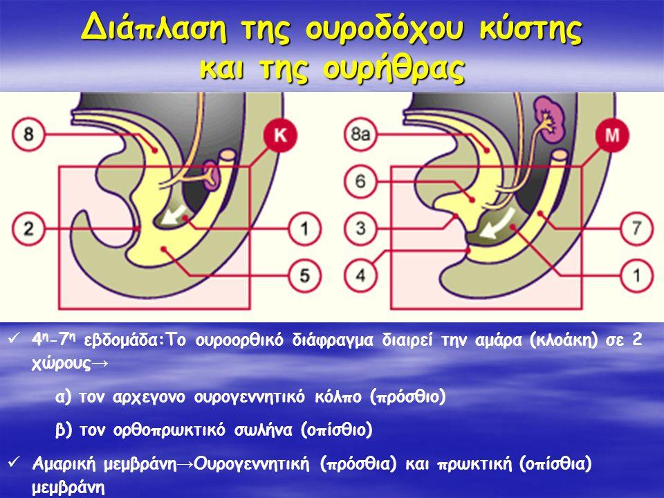 Διάπλαση της ουροδόχου κύστης και της ουρήθρας 4 η -7 η εβδομάδα:Το ουροορθικό διάφραγμα διαιρεί την αμάρα (κλοάκη) σε 2 χώρους → α) τον αρχεγονο ουρο