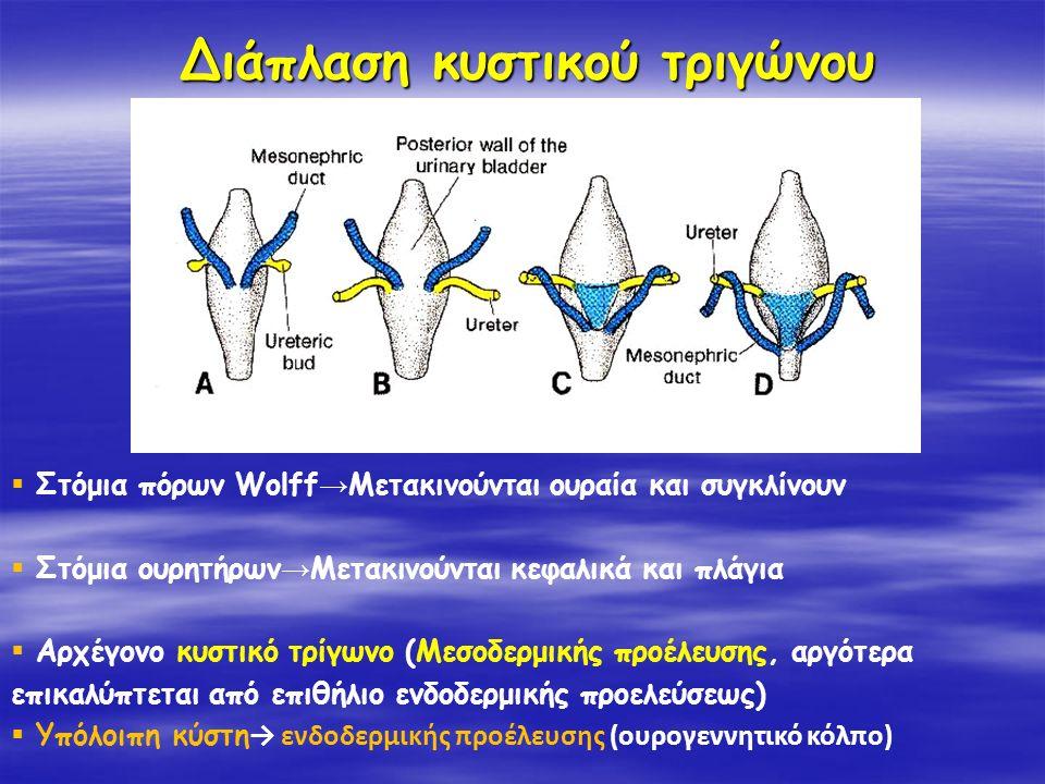 Διάπλαση κυστικού τριγώνου  Στόμια πόρων Wolff → Μετακινούνται ουραία και συγκλίνουν  Στόμια ουρητήρων → Μετακινούνται κεφαλικά και πλάγια  Αρχέγον
