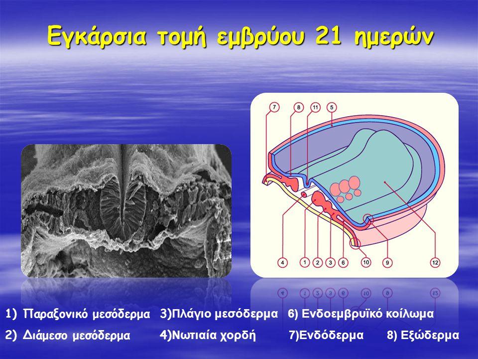 Εγκάρσια τομή εμβρύου 21 ημερών 1)Παραξονικό μεσόδερμα 3) Πλάγιο μεσόδερμα 6) Ενδοεμβρυϊκό κοίλωμα 2)Διάμεσο μεσόδερμα 4) Νωτιαία χορδή 7)Ενδόδερμα 8)