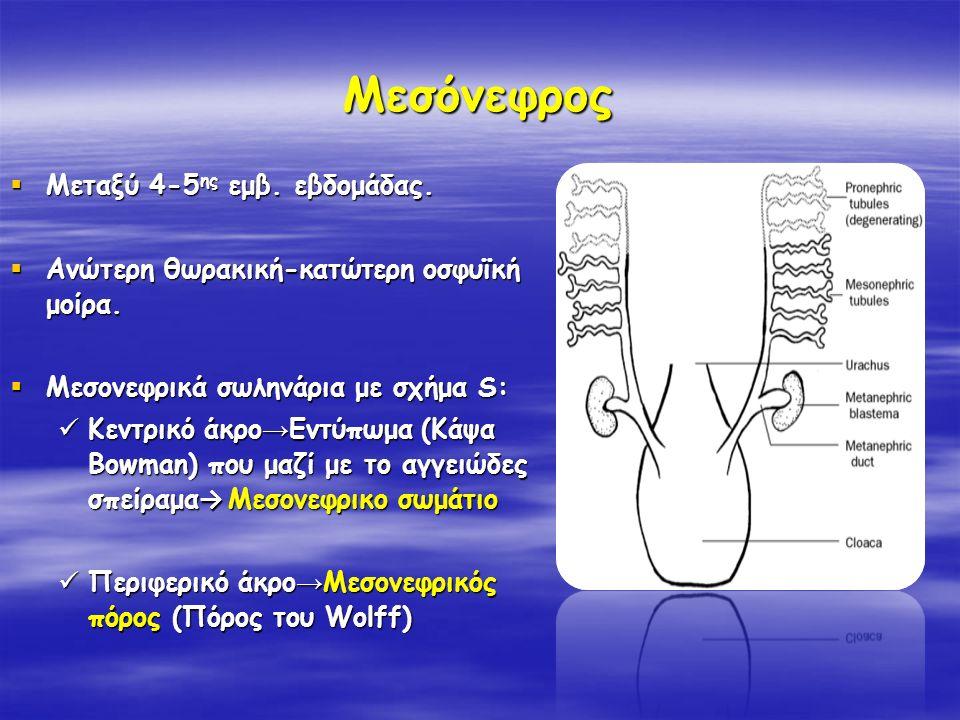 Μεσόνεφρος  Μεταξύ 4-5 ης εμβ. εβδομάδας.  Aνώτερη θωρακική-κατώτερη οσφυϊκή μοίρα.  Μεσονεφρικά σωληνάρια με σχήμα S: Κεντρικό άκρο → Εντύπωμα (Κά