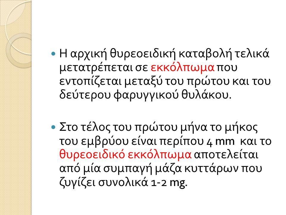 Η αρχική θυρεοειδική καταβολή τελικά μετατρέπεται σε εκκόλπωμα που εντοπίζεται μεταξύ του πρώτου και του δεύτερου φαρυγγικού θυλάκου.