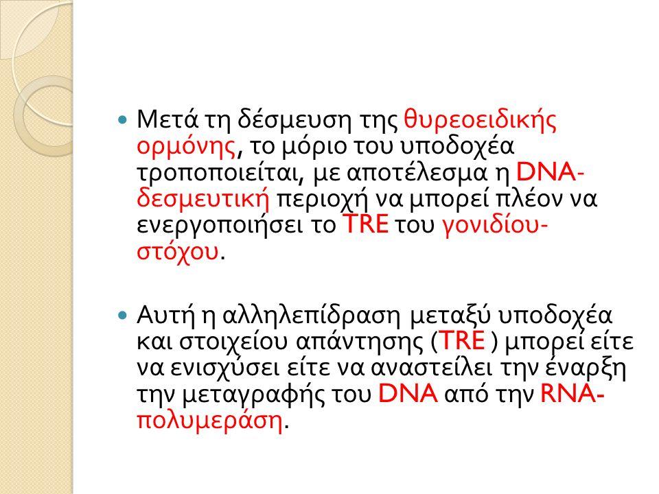 Μετά τη δέσμευση της θυρεοειδικής ορμόνης, το μόριο του υποδοχέα τροποποιείται, με αποτέλεσμα η DNA- δεσμευτική περιοχή να μπορεί πλέον να ενεργοποιήσει το TRE του γονιδίου - στόχου.