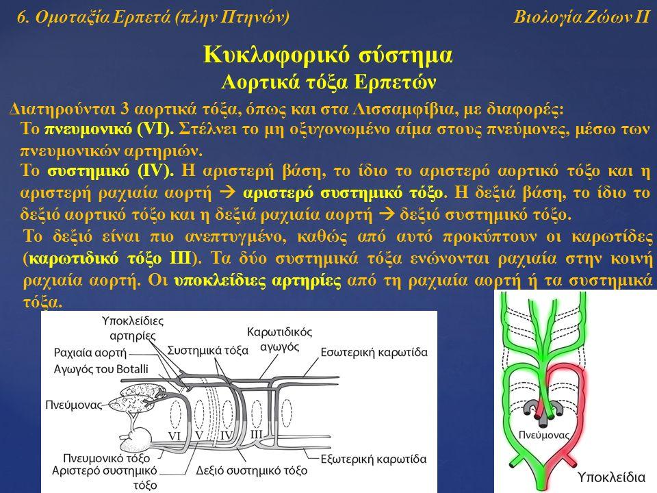 Βιολογία Ζώων ΙΙ Κυκλοφορικό σύστημα Αορτικά τόξα Ερπετών Διατηρούνται 3 αορτικά τόξα, όπως και στα Λισσαμφίβια, με διαφορές: To πνευμονικό (VI).