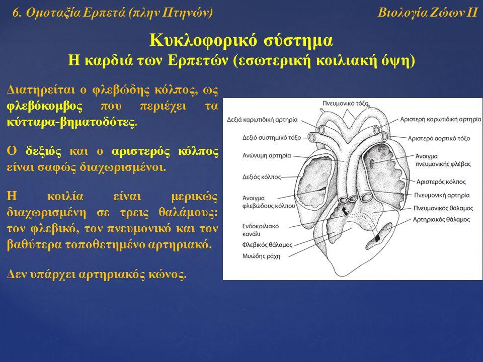 Βιολογία Ζώων ΙΙ Κυκλοφορικό σύστημα Η καρδιά των Ερπετών (εσωτερική κοιλιακή όψη) Διατηρείται ο φλεβώδης κόλπος, ως φλεβόκομβος που περιέχει τα κύτταρα-βηματοδότες.