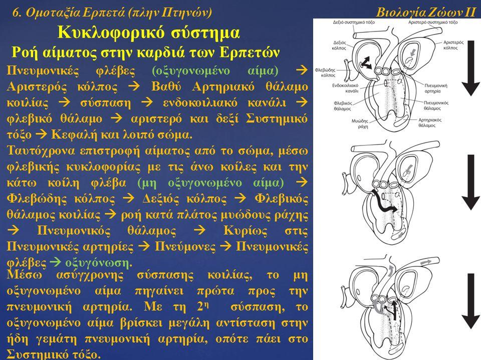 Βιολογία Ζώων ΙΙ Κυκλοφορικό σύστημα Ροή αίματος στην καρδιά των Ερπετών Πνευμονικές φλέβες (οξυγονωμένο αίμα)  Αριστερός κόλπος  Βαθύ Αρτηριακό θάλαμο κοιλίας  σύσπαση  ενδοκοιλιακό κανάλι  φλεβικό θάλαμο  αριστερό και δεξί Συστημικό τόξο  Κεφαλή και λοιπό σώμα.