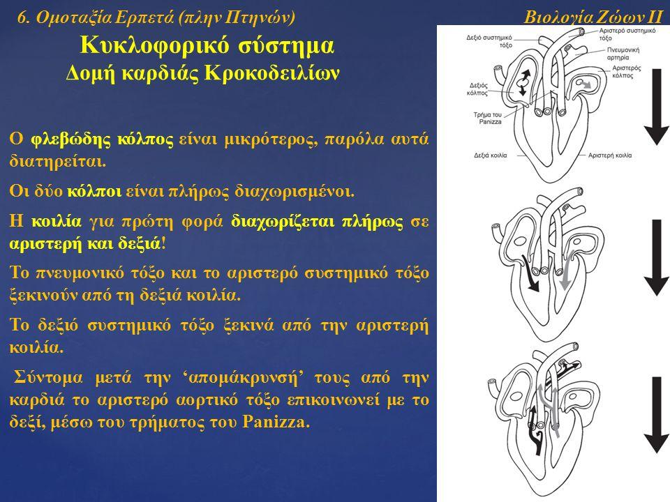Βιολογία Ζώων ΙΙ Κυκλοφορικό σύστημα Δομή καρδιάς Κροκοδειλίων Ο φλεβώδης κόλπος είναι μικρότερος, παρόλα αυτά διατηρείται.