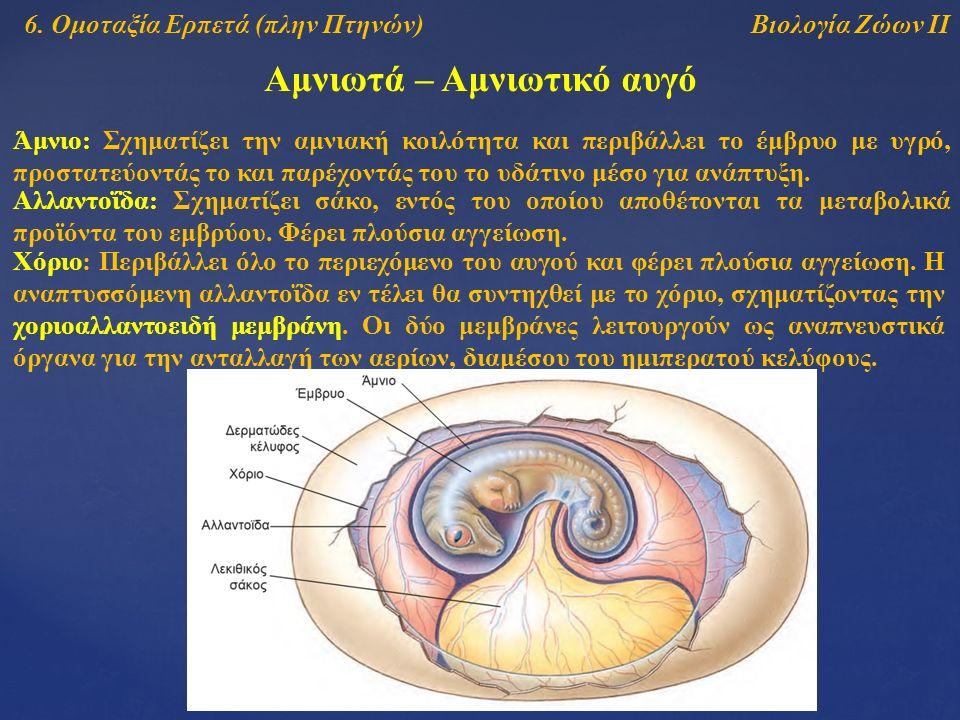 Βιολογία Ζώων ΙΙ Αμνιωτά – Αμνιωτικό αυγό Άμνιο: Σχηματίζει την αμνιακή κοιλότητα και περιβάλλει το έμβρυο με υγρό, προστατεύοντάς το και παρέχοντάς του το υδάτινο μέσο για ανάπτυξη.