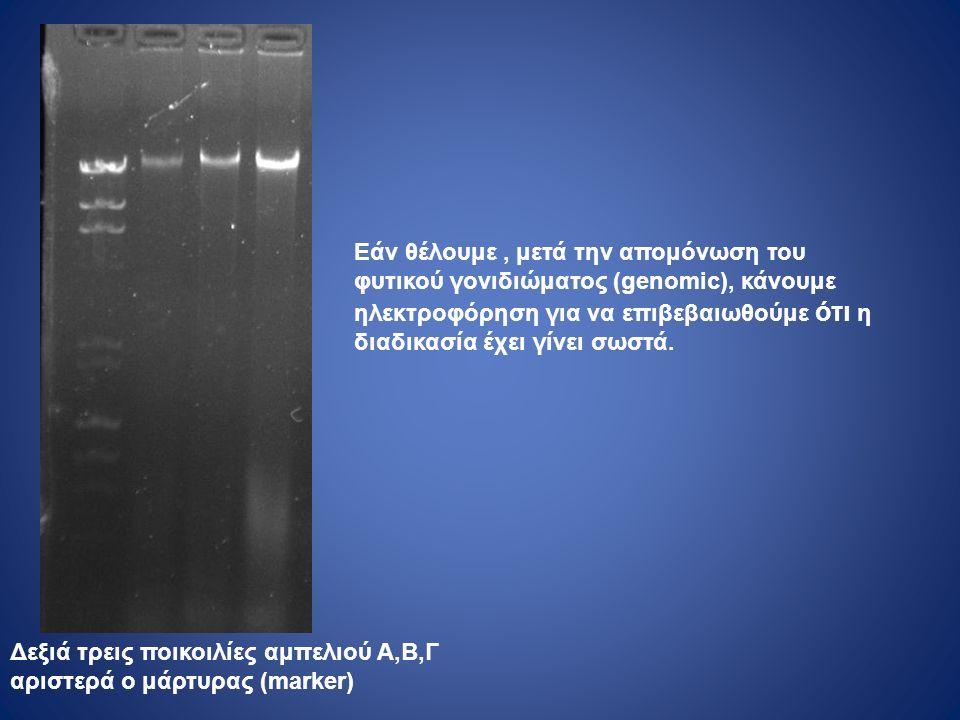 Eάν θέλουμε, μετά την απομόνωση του φυτικού γονιδιώματος (genomic), κάνουμε ηλεκτροφόρηση για να επιβεβαιωθούμε ότι η διαδικασία έχει γίνει σωστά.