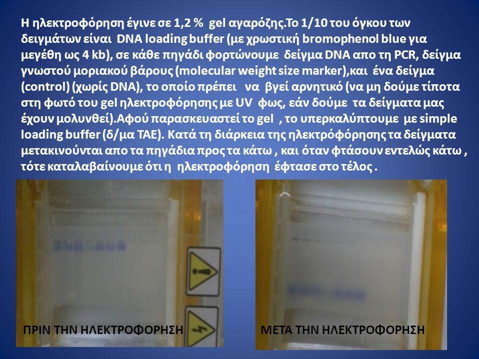 Η ηλεκτροφόρηση έγινε σε 1,2 % gel αγαρόζης.To 1/10 του όγκου των δειγμάτων είναι DNA loading buffer (με χρωστική bromophenol blue για μεγέθη ως 4 kb), σε κάθε πηγάδι φορτώνουμε δείγμα DNA απο τη PCR, δείγμα γνωστού μοριακού βάρους (molecular weight size marker),και ένα δείγμα (control) (χωρίς DNA), το οποίο πρέπει να βγεί αρνητικό (να μη δούμε τίποτα στη φωτό του gel ηλεκτροφόρησης με UV φως, εάν δούμε τα δείγματα μας έχουν μολυνθεί).Αφού παρασκευαστεί το gel, το υπερκαλύπτουμε με simple loading buffer (δ/μα ΤΑΕ).