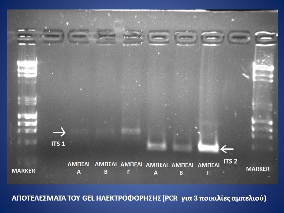 ΑΠΟΤΕΛΕΣΜΑΤΑ ΤΟΥ GEL ΗΛΕΚΤΡΟΦΟΡΗΣΗΣ (PCR για 3 ποικιλίες αμπελιού)