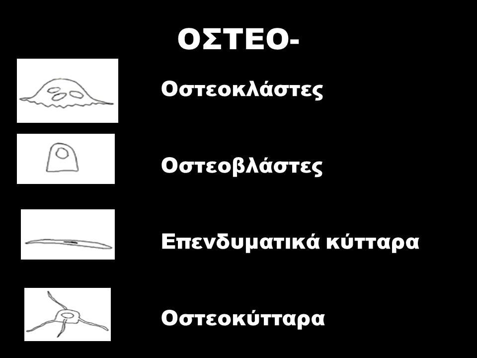 ΟΣΤΕΟ- Οστεοκλάστες Οστεοβλάστες Επενδυματικά κύτταρα Οστεοκύτταρα