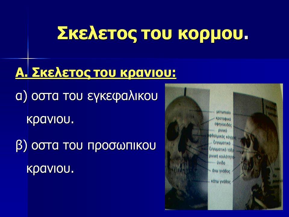 Σκελετος του κορμου. Α. Σκελετος του κρανιου: α) οστα του εγκεφαλικου κρανιου. β) οστα του προσωπικου κρανιου.