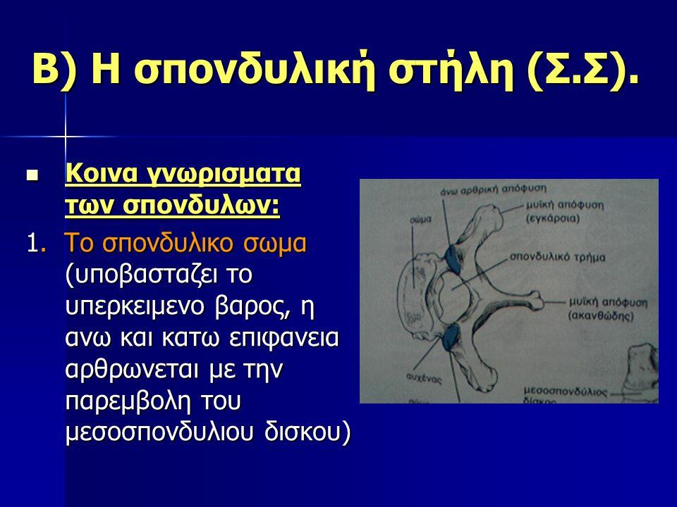 Β) Η σπονδυλική στήλη (Σ.Σ). Κοινα γνωρισματα των σπονδυλων: Κοινα γνωρισματα των σπονδυλων: 1. Το σπονδυλικο σωμα (υποβασταζει το υπερκειμενο βαρος,