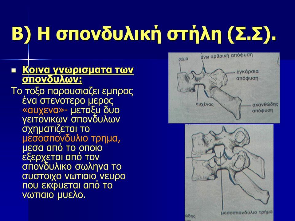 Β) Η σπονδυλική στήλη (Σ.Σ). Κοινα γνωρισματα των σπονδυλων: Κοινα γνωρισματα των σπονδυλων: Το τοξο παρουσιαζει εμπρος ένα στενοτερο μερος «αυχενα»-