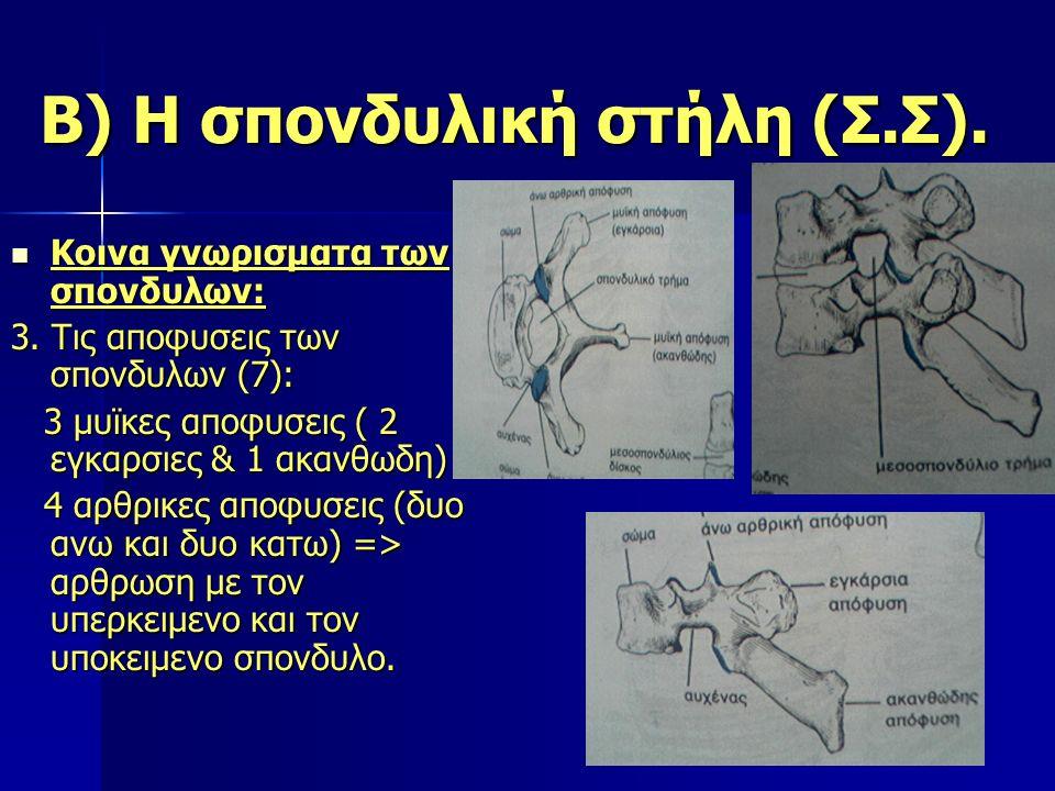Β) Η σπονδυλική στήλη (Σ.Σ). Κοινα γνωρισματα των σπονδυλων: Κοινα γνωρισματα των σπονδυλων: 3. Τις αποφυσεις των σπονδυλων (7): 3 μυϊκες αποφυσεις (