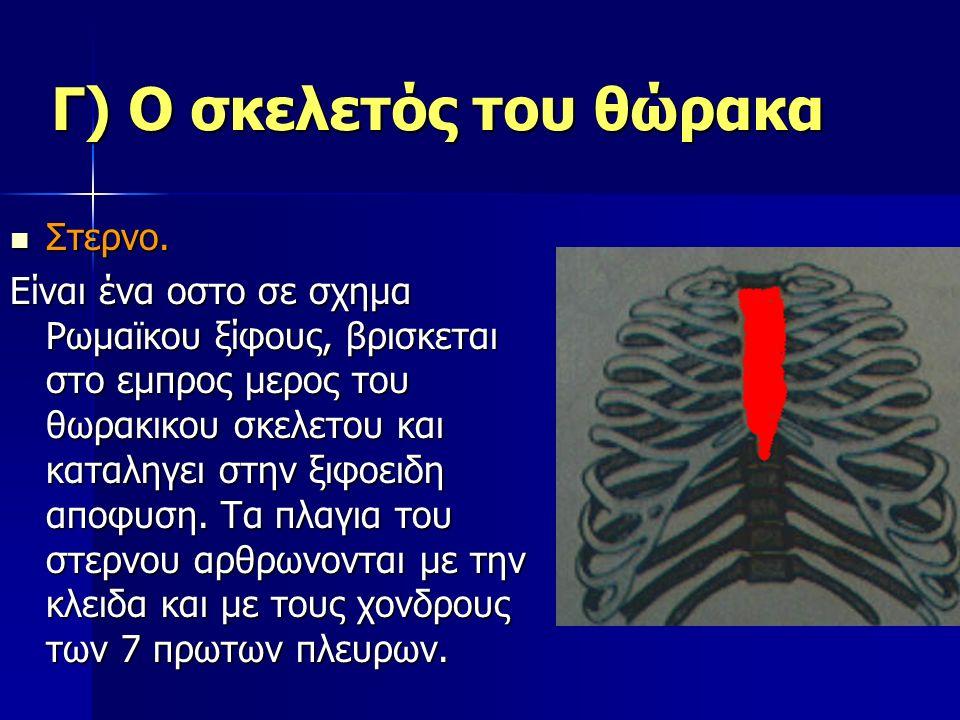 Γ) Ο σκελετός του θώρακα Στερνο. Στερνο. Είναι ένα οστο σε σχημα Ρωμαϊκου ξίφους, βρισκεται στο εμπρος μερος του θωρακικου σκελετου και καταληγει στην
