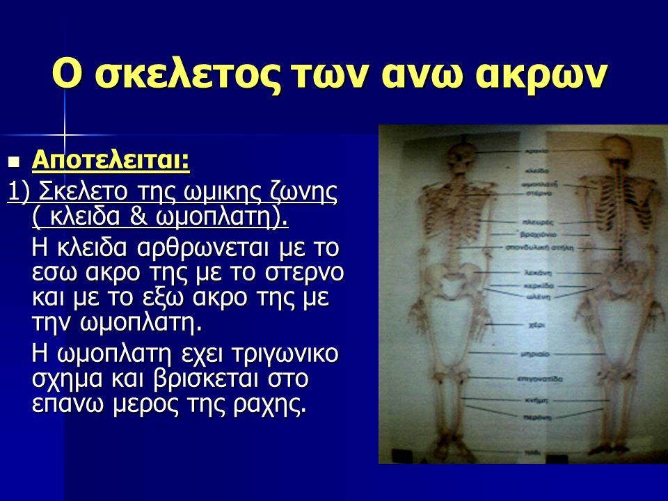 Ο σκελετος των ανω ακρων Aποτελειται: Aποτελειται: 1) Σκελετο της ωμικης ζωνης ( κλειδα & ωμοπλατη). Η κλειδα αρθρωνεται με το εσω ακρο της με το στερ