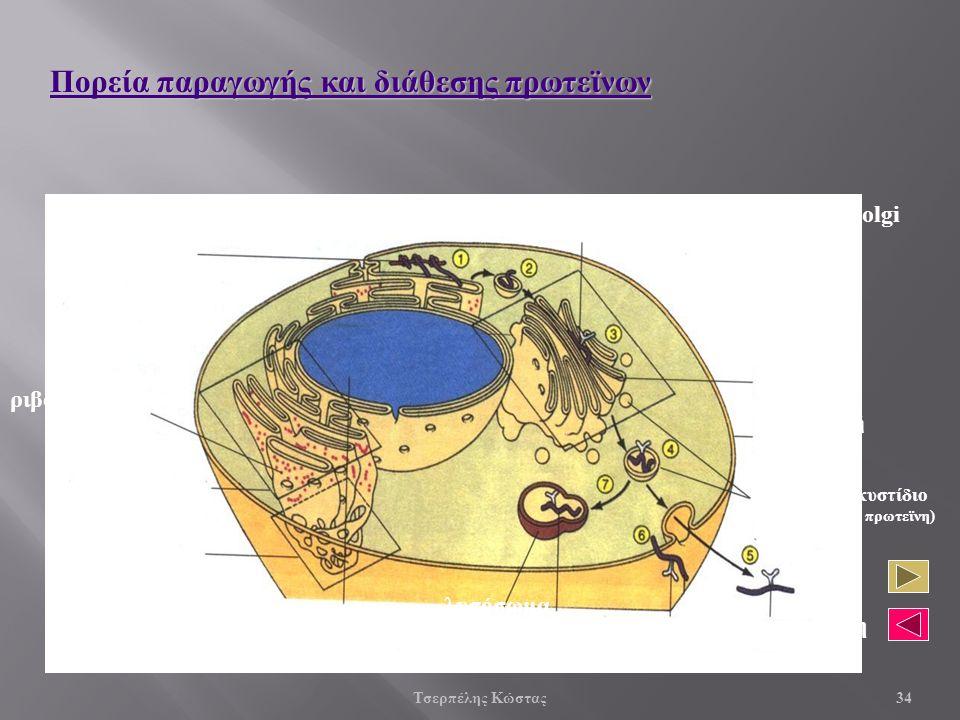 Σύνθεση πολυπεπτιδικής αλυσίδας ριβοσώματα Αδρό Ε.Δ Λείο Ε.Δ.