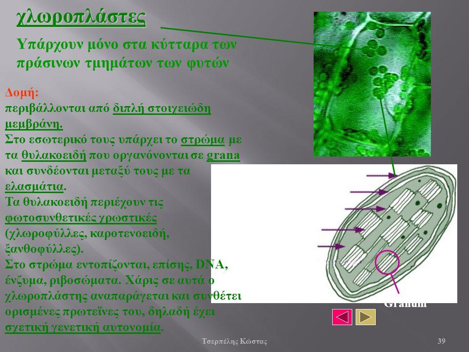 Υπάρχουν μόνο στα κύτταρα των πράσινων τμημάτων των φυτώνχλωροπλάστες Εξωτερική μεμβράνη Εσωτερική μεμβράνη ελασμάτιο θυλακοειδές στρώμα Granum Δομή: περιβάλλονται από διπλή στοιχειώδη μεμβράνη.