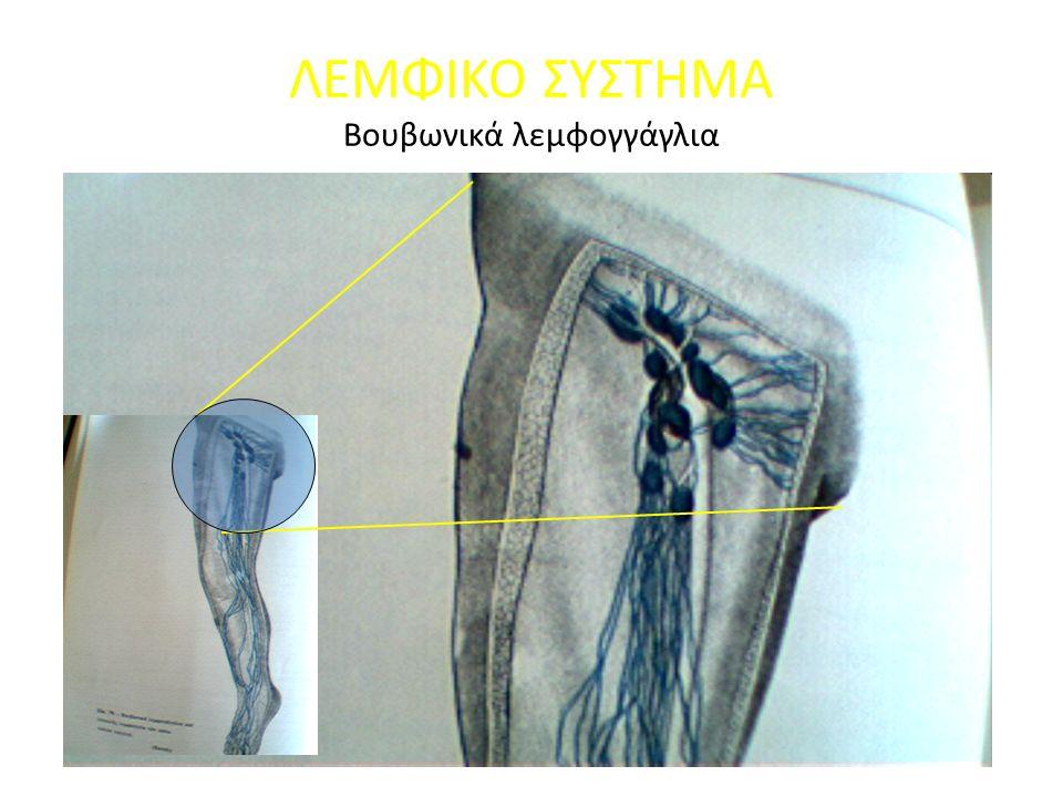 ΛΕΜΦΙΚΟ ΣΥΣΤΗΜΑ Βουβωνικά λεμφογγάγλια