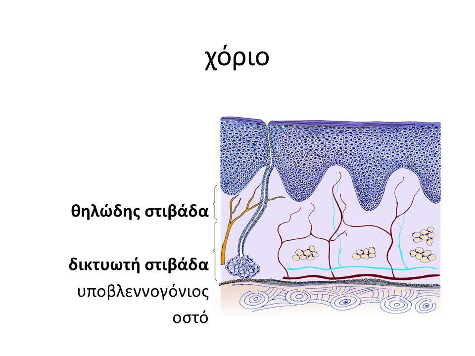 χόριο θηλώδης στιβάδα δικτυωτή στιβάδα υποβλεννογόνιος οστό