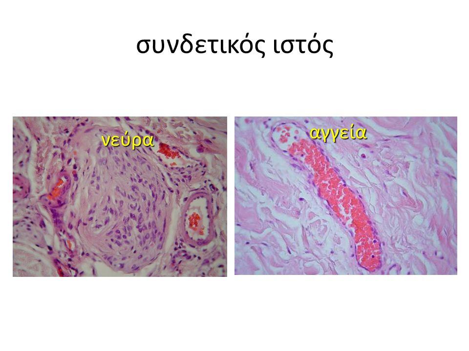 αγγεία νεύρα