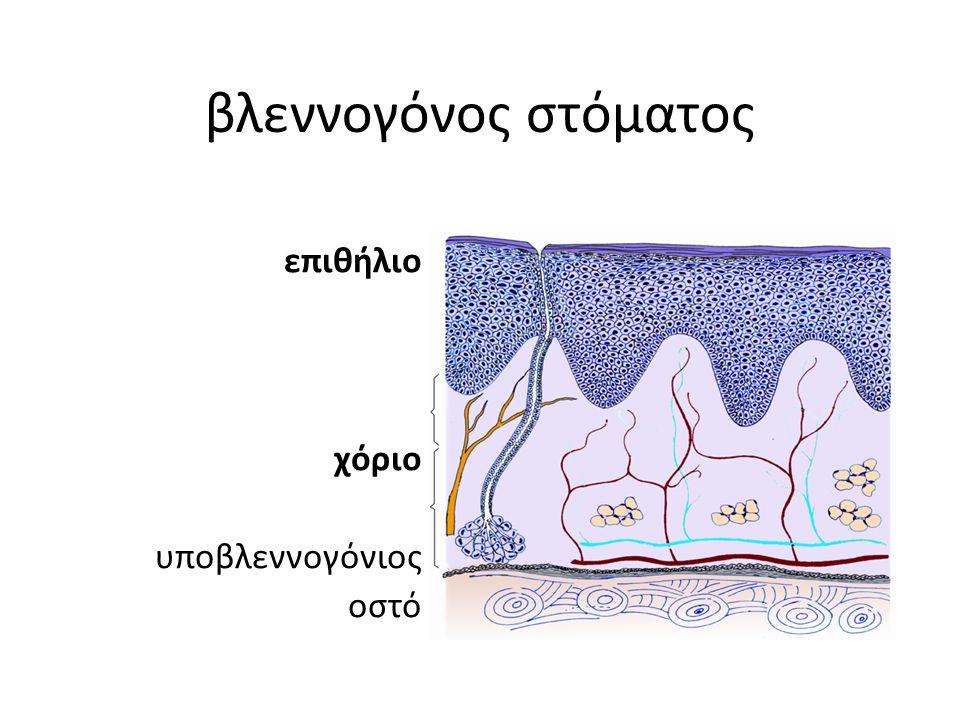 βλεννογόνος στόματος επιθήλιο χόριο υποβλεννογόνιος οστό