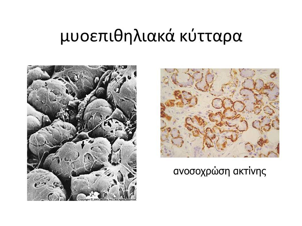 μυοεπιθηλιακά κύτταρα ανοσοχρώση ακτίνης
