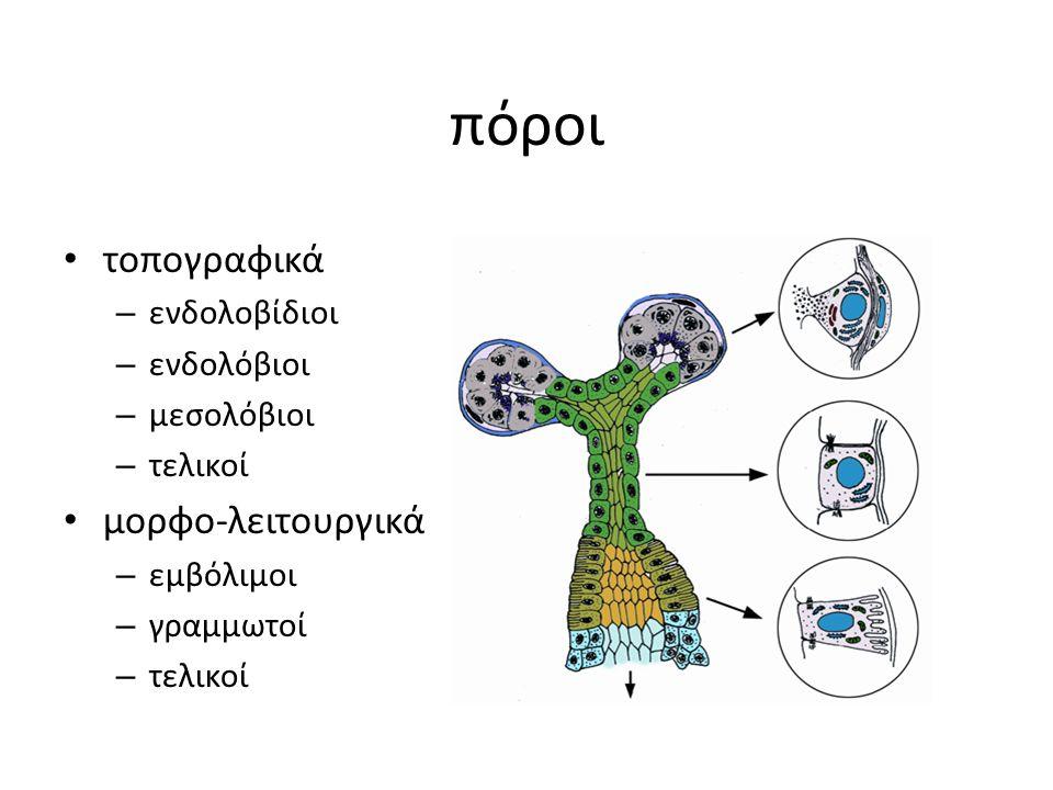 πόροι τοπογραφικά – ενδολοβίδιοι – ενδολόβιοι – μεσολόβιοι – τελικοί μορφο-λειτουργικά – εμβόλιμοι – γραμμωτοί – τελικοί