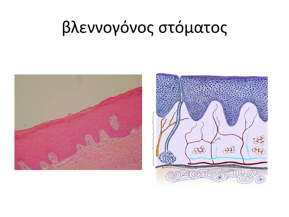 επιθήλιο – πολύστιβο πλακώδες κερατινοποιημένο μη-κερατινοποιημένο χόριο – συνδετικός ιστός – αγγειακός ιστός – νευρικός ιστός – λεμφικός ιστός – αδένες – άλλοι ιστοί υποβλεννογόνιος χιτώνας ή περιόστεο