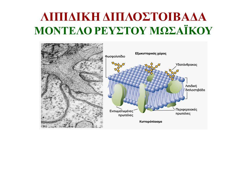 ΑΣΥΜΜΕΤΡΙΑ ΜΕΜΒΡΑΝΩΝ ΑΣΥΜΜΕΤΡΗ ΚΑΤΑΝΟΜΗ ΛΙΠΙΔΙΩΝ Αρνητικό φορτίο στην κυτταροπλασματική πλευρά