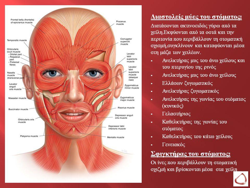 Διαστολείς μύες του στόματος : Διατάσονται ακτινοειδώς γύρω από τα χείλη. Εκφύονται από τα οστά και την περιτονία που περιβάλλουν τη στοματική σχισμή,