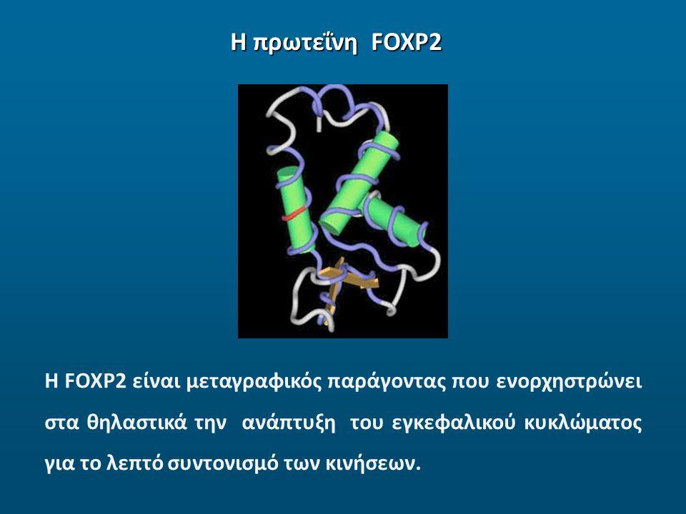 Η πρωτεΐνη FOXP2 Η FOXP2 είναι μεταγραφικός παράγοντας που ενορχηστρώνει στα θηλαστικά την ανάπτυξη του εγκεφαλικού κυκλώματος για το λεπτό συντονισμό