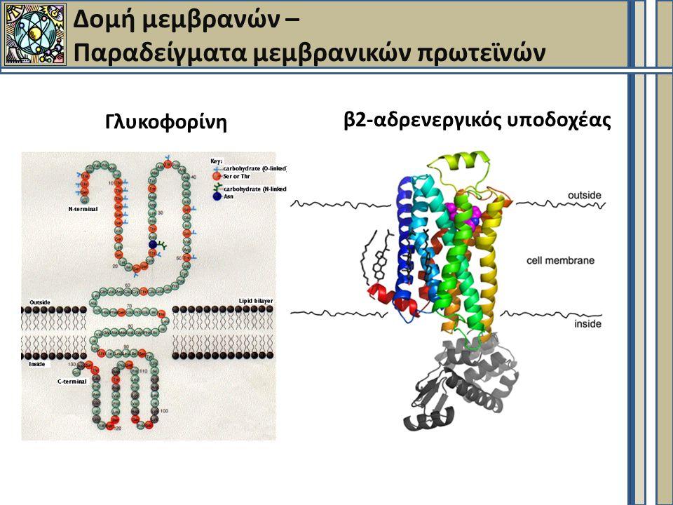 Δομή μεμβρανών – Παραδείγματα μεμβρανικών πρωτεϊνών Γλυκοφορίνη β2-αδρενεργικός υποδοχέας