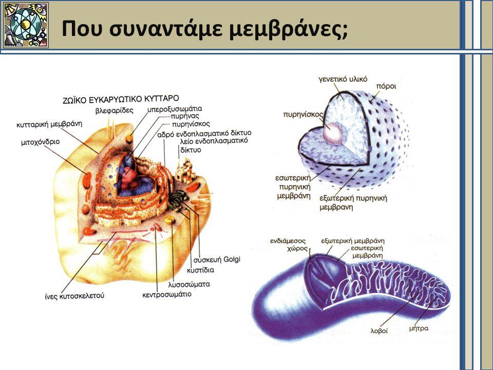 Ασυμμετρία μεμβρανών – Πλευρική ασυμμετρία (1)  Περιοχές πλούσιες σε σφιγγολιπίδια και χοληστερόλη  Πιο συμπαγείς, οργανωμένες και παχιές δομές  ~ 50% της επιφάνειας της μεμβράνης  Πλούσιες σε πρωτεΐνες που συνδέονται με λιπίδια