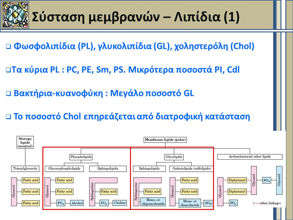 Μεταφορείς γλυκόζης (GLUT)  12 ισομορφές  GLUT 1  ερυθροκύτταρα  GLUT 2  ήπαρ (μεταφορά Glu από ήπαρ στη κυκλοφορία)  GLUT 4  μυες, λιπώδεις ιστός (μεταφορά Glu στους ιστούς)