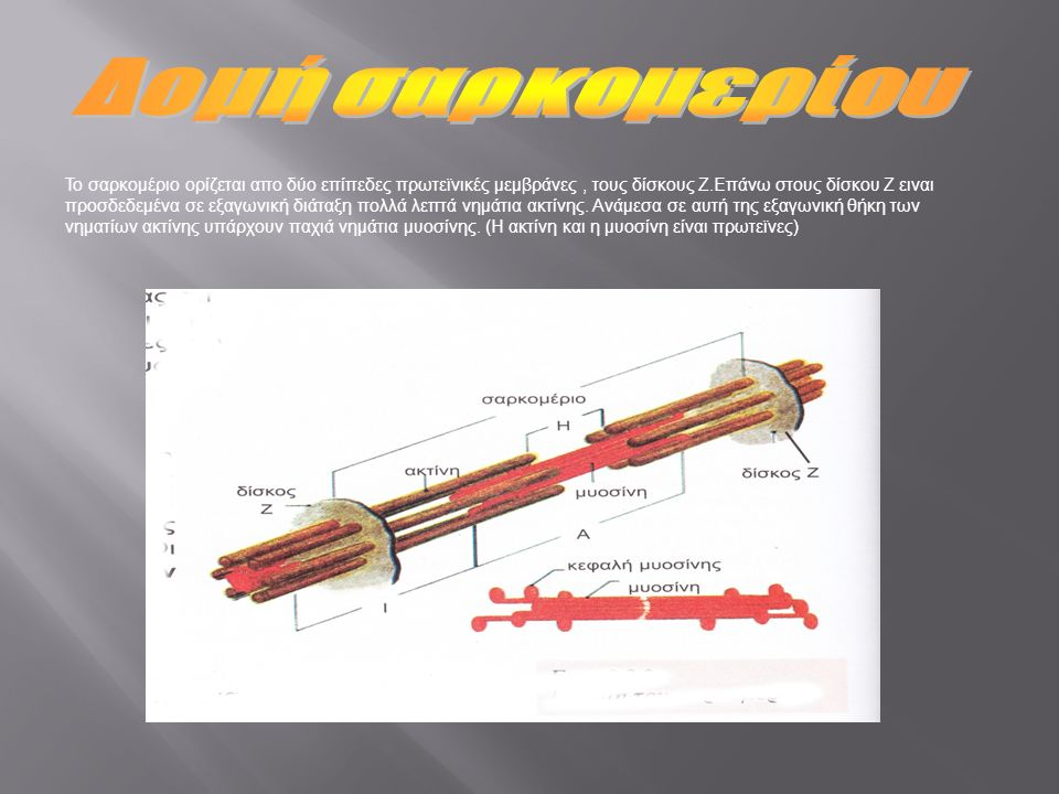 Το σαρκομέριο ορίζεται απο δύο επίπεδες πρωτεϊνικές μεμβράνες, τους δίσκους Ζ.Επάνω στους δίσκου Ζ ειναι προσδεδεμένα σε εξαγωνική διάταξη πολλά λεπτά νημάτια ακτίνης.