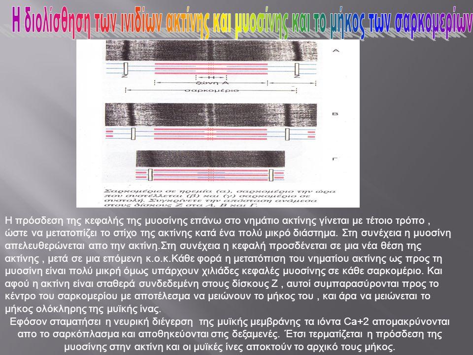 Η πρόσδεση της κεφαλής της μυοσίνης επάνω στο νημάτιο ακτίνης γίνεται με τέτοιο τρόπο, ώστε να μετατοπίζει το στίχο της ακτίνης κατά ένα πολύ μικρό δι
