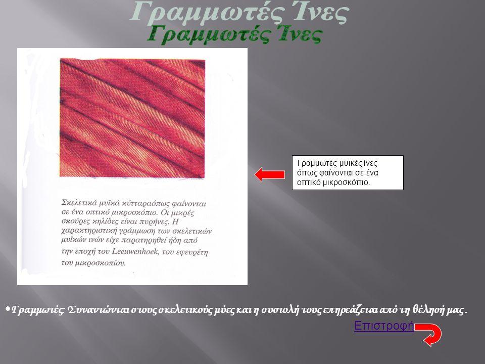 Γραμμωτές μυικές ίνες όπως φαίνονται σε ένα οπτικό μικροσκόπιο.  Γραμμωτές: Συναντώνται στους σκελετικούς μύες και η συστολή τους επηρεάζεται από τη