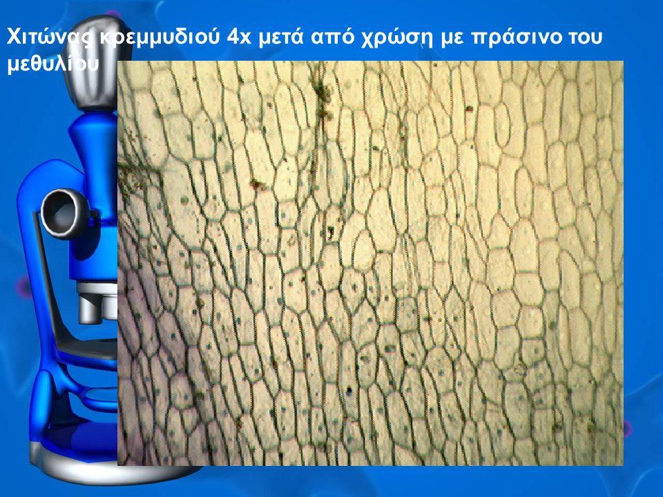 Χιτώνας κρεμμυδιού 4x μετά από χρώση με πράσινο του μεθυλίου