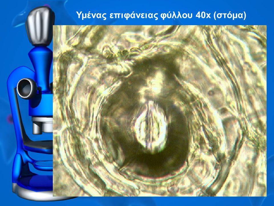 Υμένας επιφάνειας φύλλου 40x (στόμα)