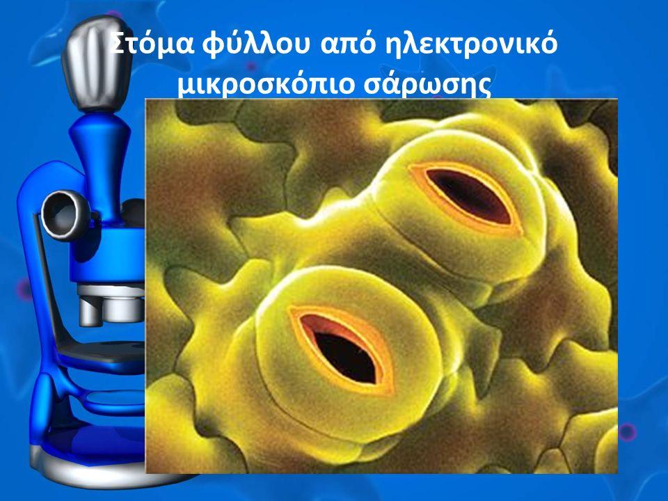 Στόμα φύλλου από ηλεκτρονικό μικροσκόπιο σάρωσης