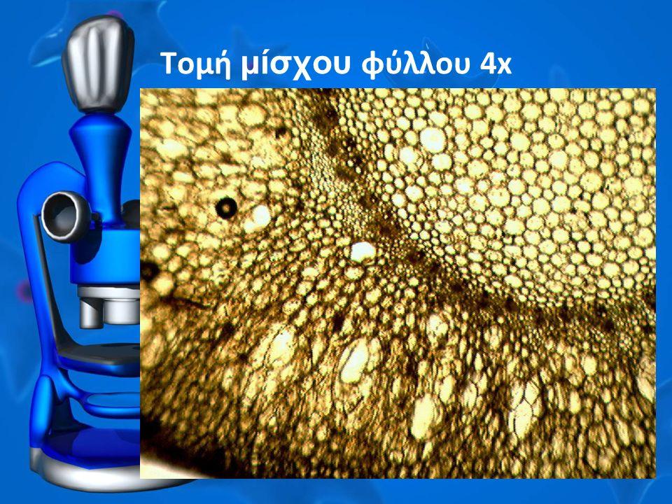 Τομή μίσχου φύλλου 4x