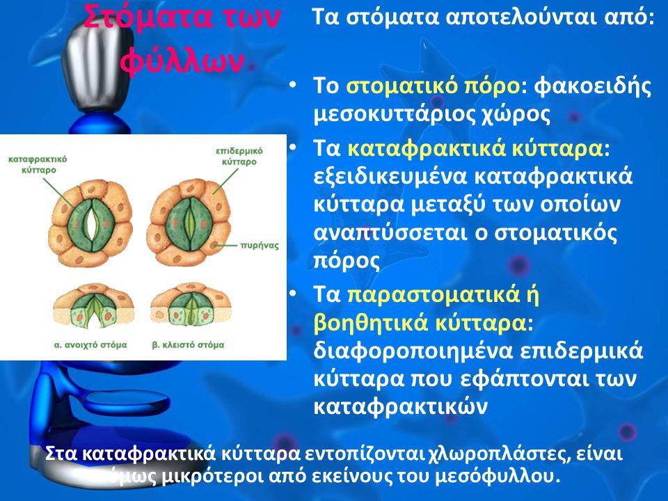 Στόματα των φύλλων Τα στόματα αποτελούνται από: Το στοματικό πόρο: φακοειδής μεσοκυττάριος χώρος Τα καταφρακτικά κύτταρα: εξειδικευμένα καταφρακτικά κύτταρα μεταξύ των οποίων αναπτύσσεται ο στοματικός πόρος Τα παραστοματικά ή βοηθητικά κύτταρα: διαφοροποιημένα επιδερμικά κύτταρα που εφάπτονται των καταφρακτικών Στα καταφρακτικά κύτταρα εντοπίζονται χλωροπλάστες, είναι όμως μικρότεροι από εκείνους του μεσόφυλλου.