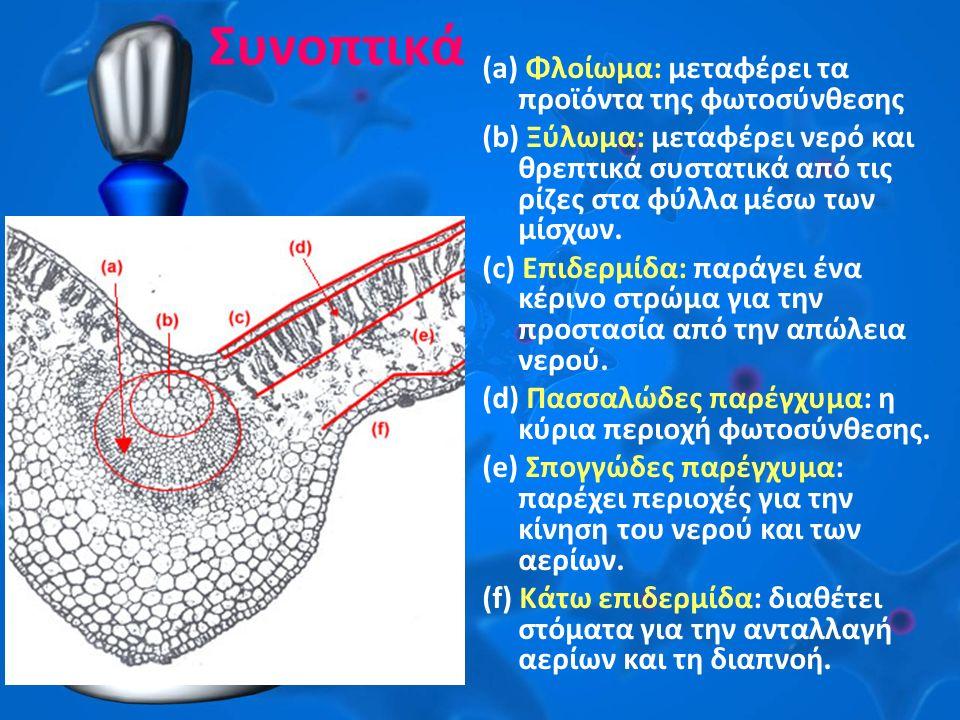 Συνοπτικά (a) Φλοίωμα: μεταφέρει τα προϊόντα της φωτοσύνθεσης (b) Ξύλωμα: μεταφέρει νερό και θρεπτικά συστατικά από τις ρίζες στα φύλλα μέσω των μίσχω