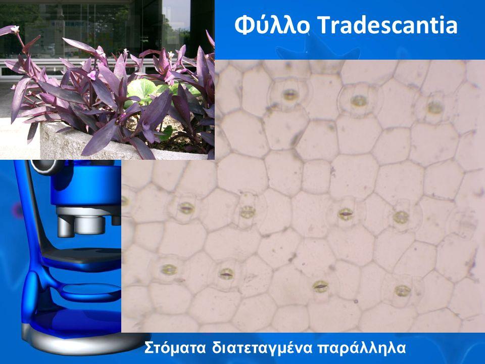 Φύλλο Tradescantia Στόματα διατεταγμένα παράλληλα
