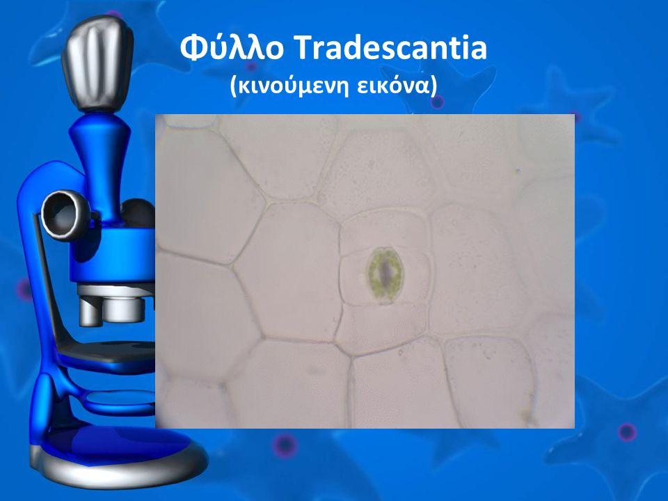Φύλλο Tradescantia (κινούμενη εικόνα)