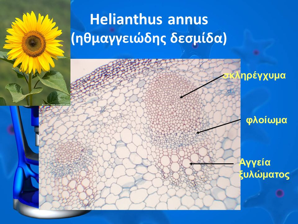 Helianthus annus (ηθμαγγειώδης δεσμίδα) σκληρέγχυμα φλοίωμα Αγγεία ξυλώματος