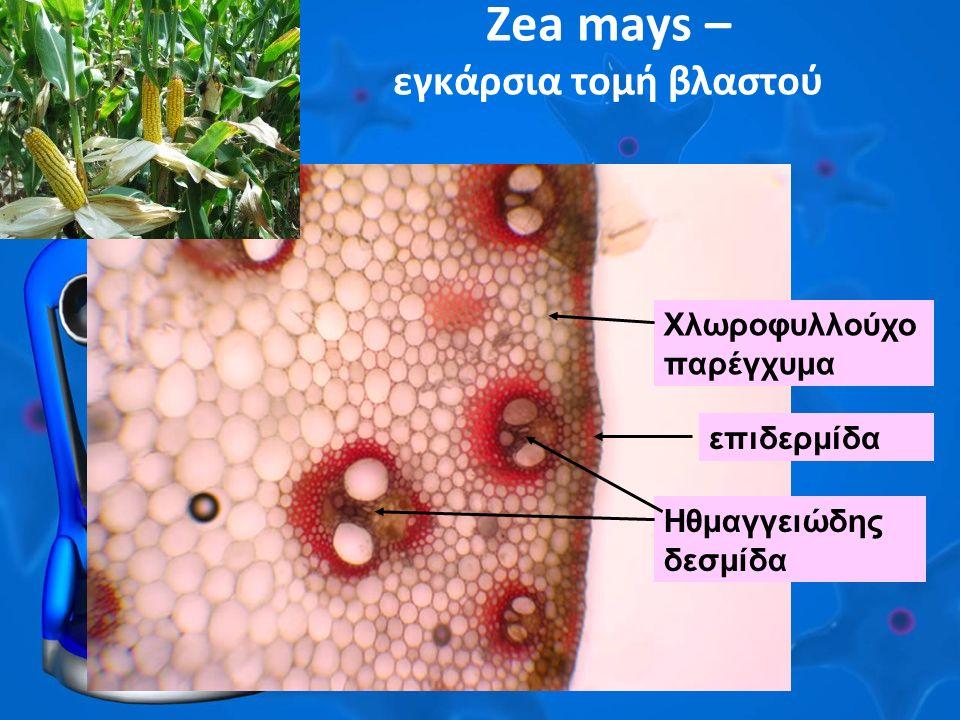 Ζea mays – εγκάρσια τομή βλαστού Ηθμαγγειώδης δεσμίδα επιδερμίδα Χλωροφυλλούχο παρέγχυμα