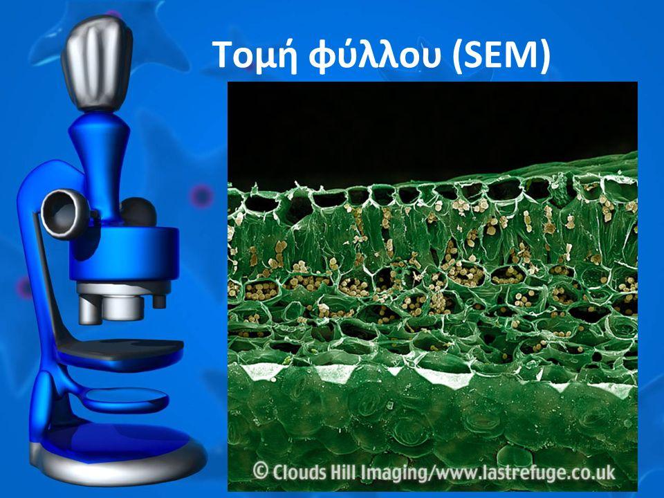 Τομή φύλλου (SEM)